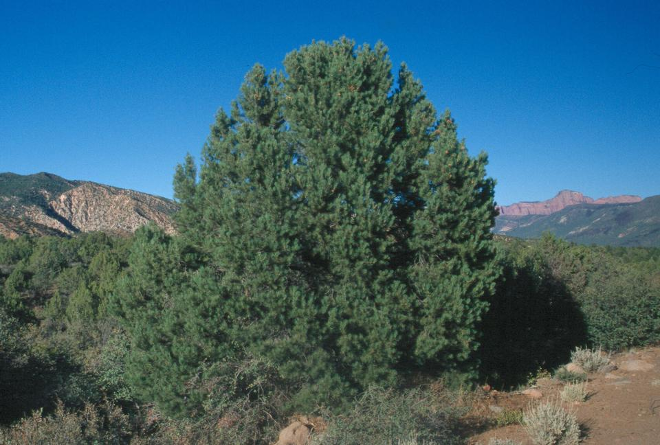 Figure 1-0 Pinus Monophylla in Pine Valley Mountains